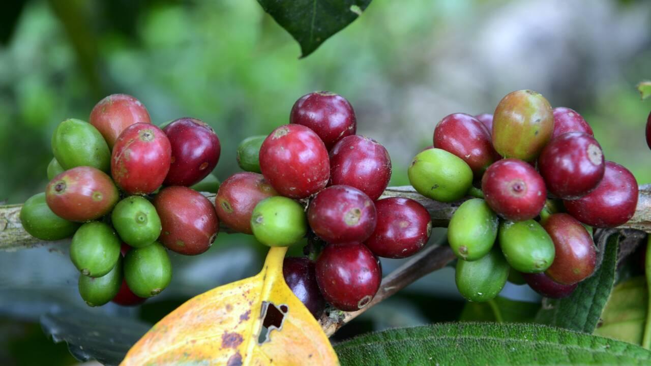 Le changement climatique met en péril la production mondiale de café