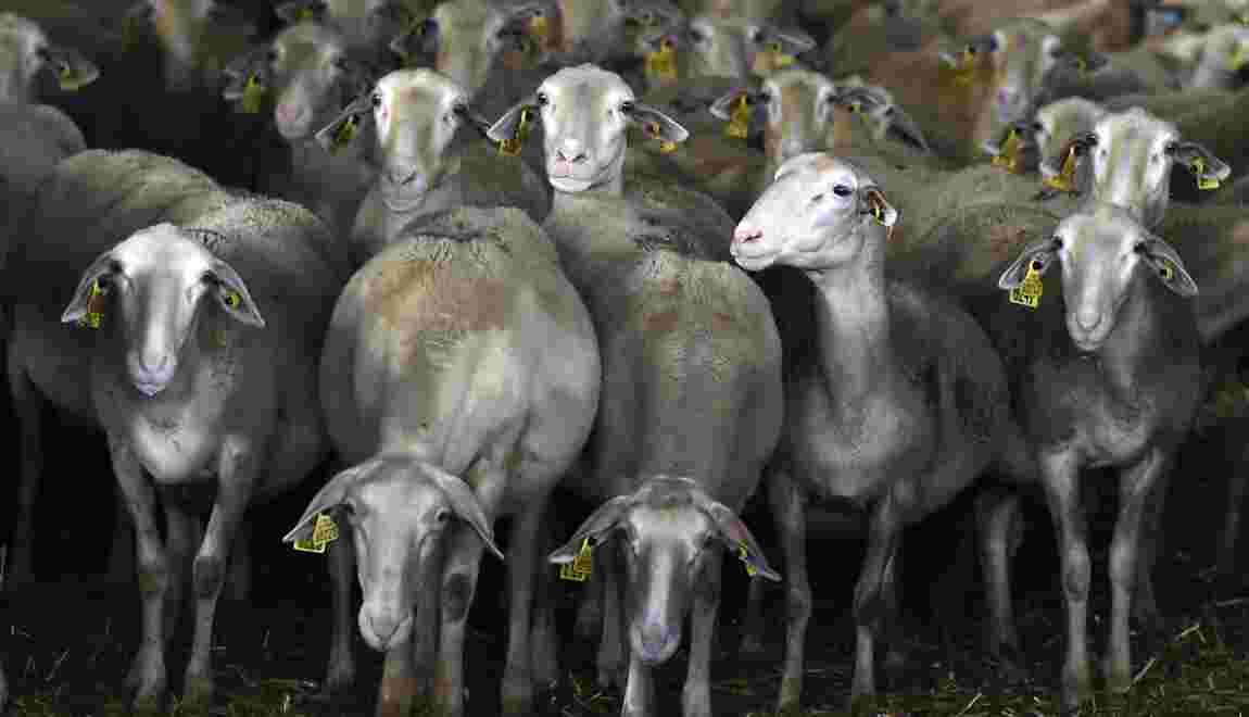 Aveyron: les éleveurs de brebis exaspérés par le loup