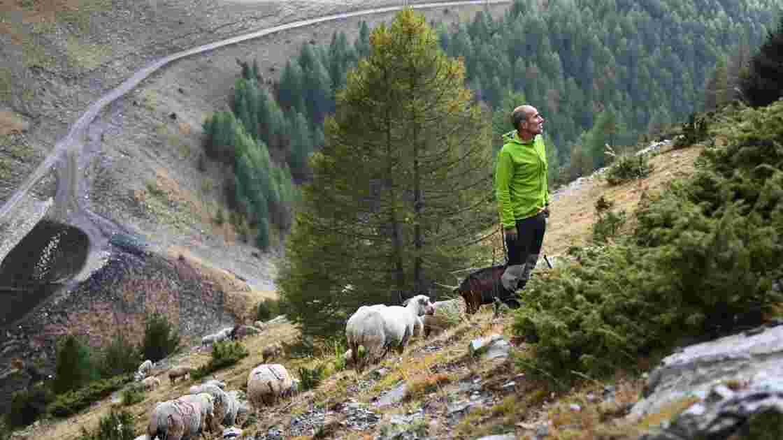 Des défenseurs du loup gardent des brebis pour briser le tabou