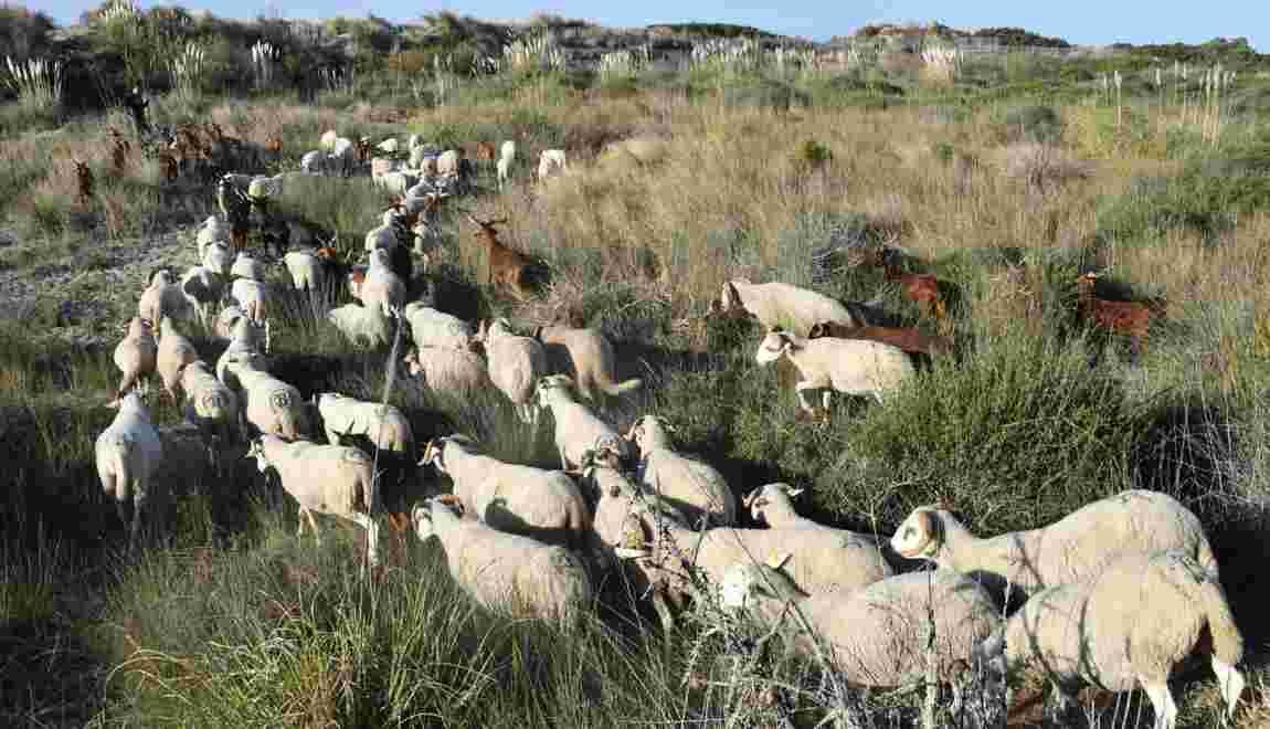 Dans le Gard, un berger et son troupeau entre pinèdes et lagunes, en bord de mer