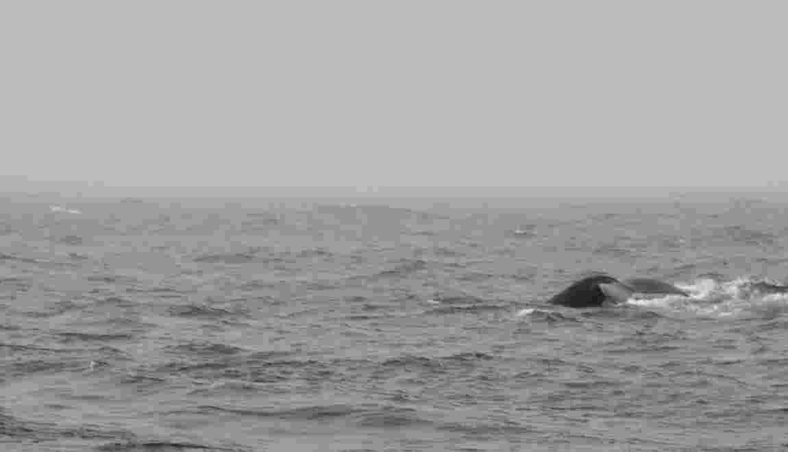Les baleines, nouvelles stars de l'écotourisme en Islande