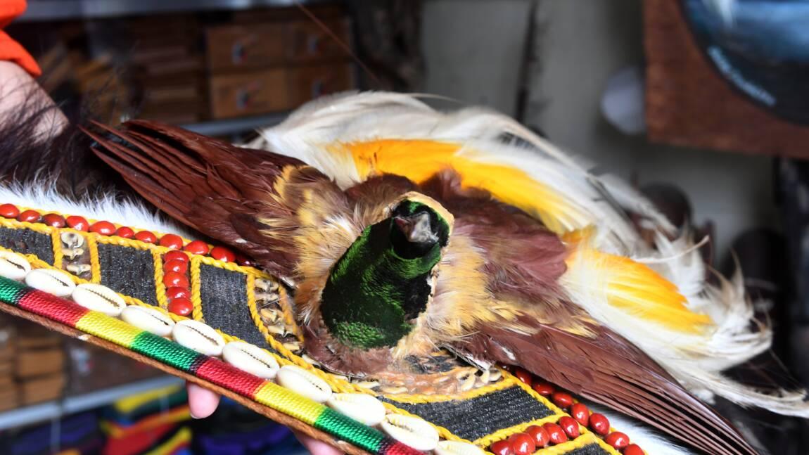 Dans la jungle de Papouasie, menace sur les oiseaux de Paradis