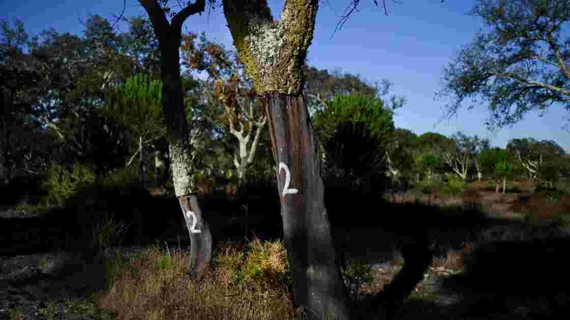 Au Portugal, le bouchon de liège pousse son avantage