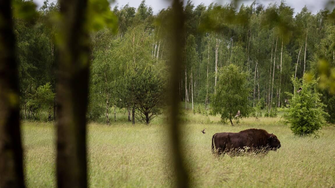 Forêt de Bialowieza: Varsovie assure être conforme aux dispositions européennes