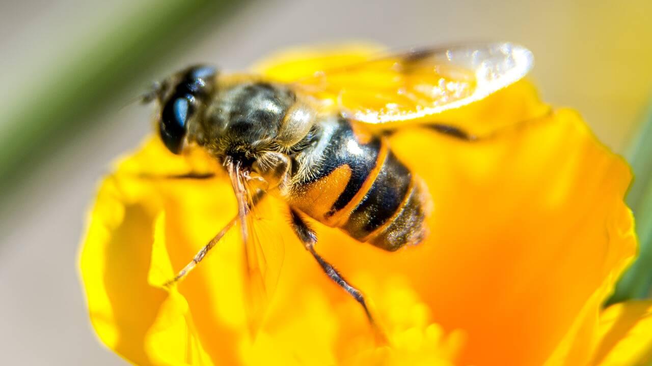 Trois jours pour faire connaître le rôle des abeilles dans la pollinisation