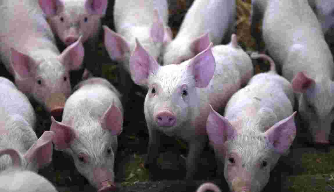 Résistance aux antibiotiques: un lien avec l'usage de pénicilline dans les élevages