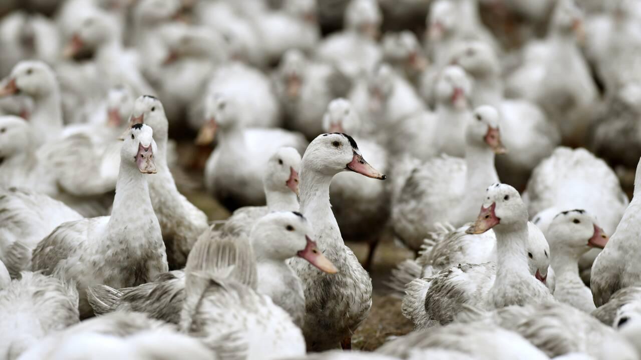 Les volailles confinées dans 45 départements pour éviter un retour de la grippe aviaire