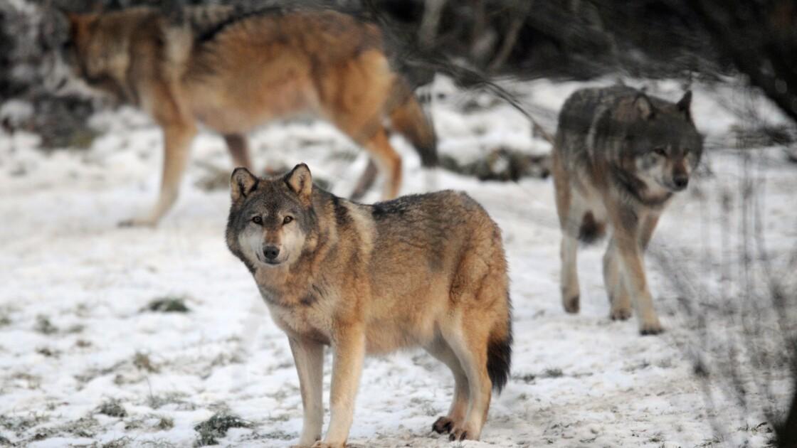 Suède: la justice autorise les chasseurs à tuer 22 loups