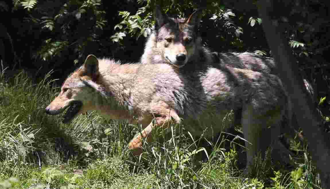 Le nouveau plan loup soumis à une consultation publique