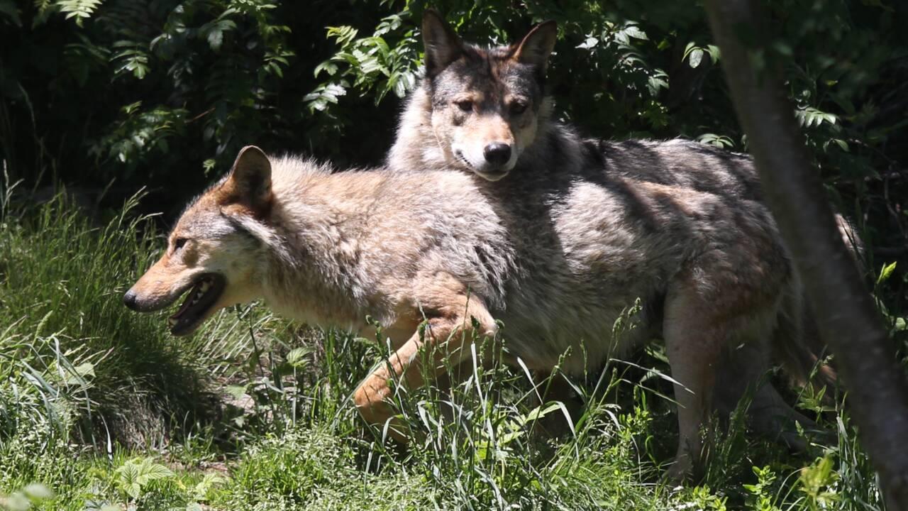 40 abattages de loups autorisés en attendant un nouveau plan