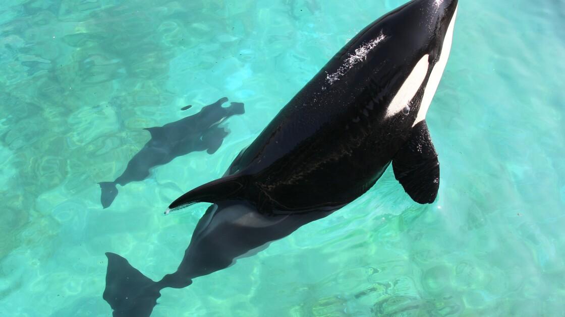 A Antibes, l'orque Wikie se prend pour un perroquet