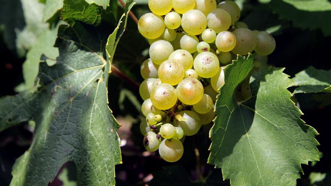 La vigne résistante à la sécheresse mais défiée par le réchauffement
