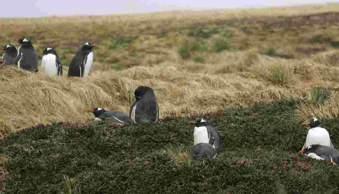 Un groupe de 1,5 million de manchots Adélie découvert en Antarctique
