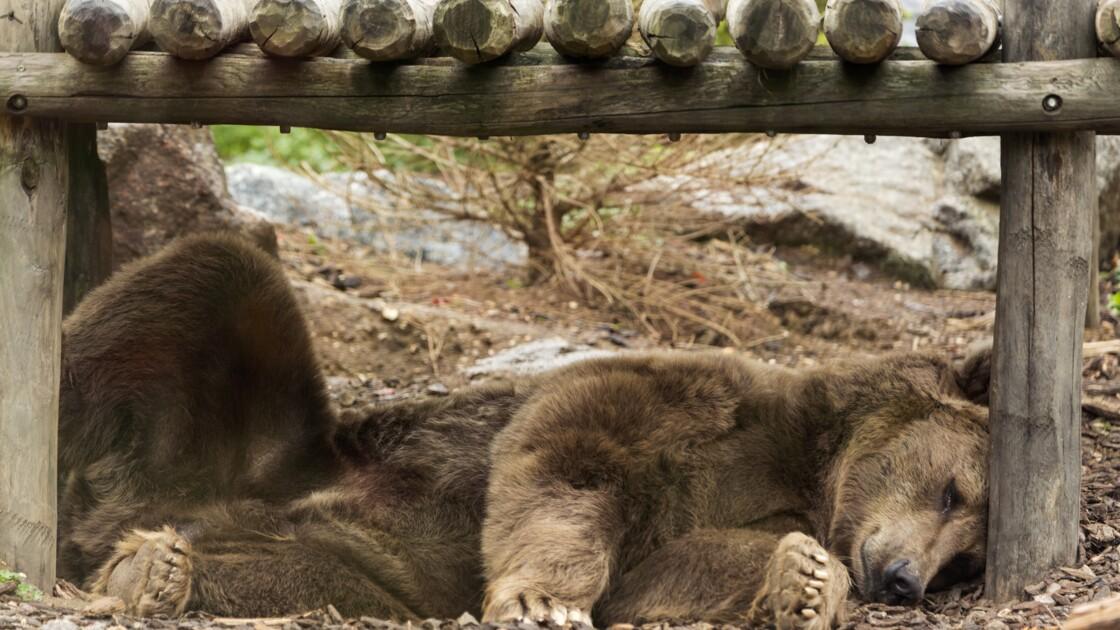 Hulot veut réintroduire deux nouvelles ourses dans les Pyrénées