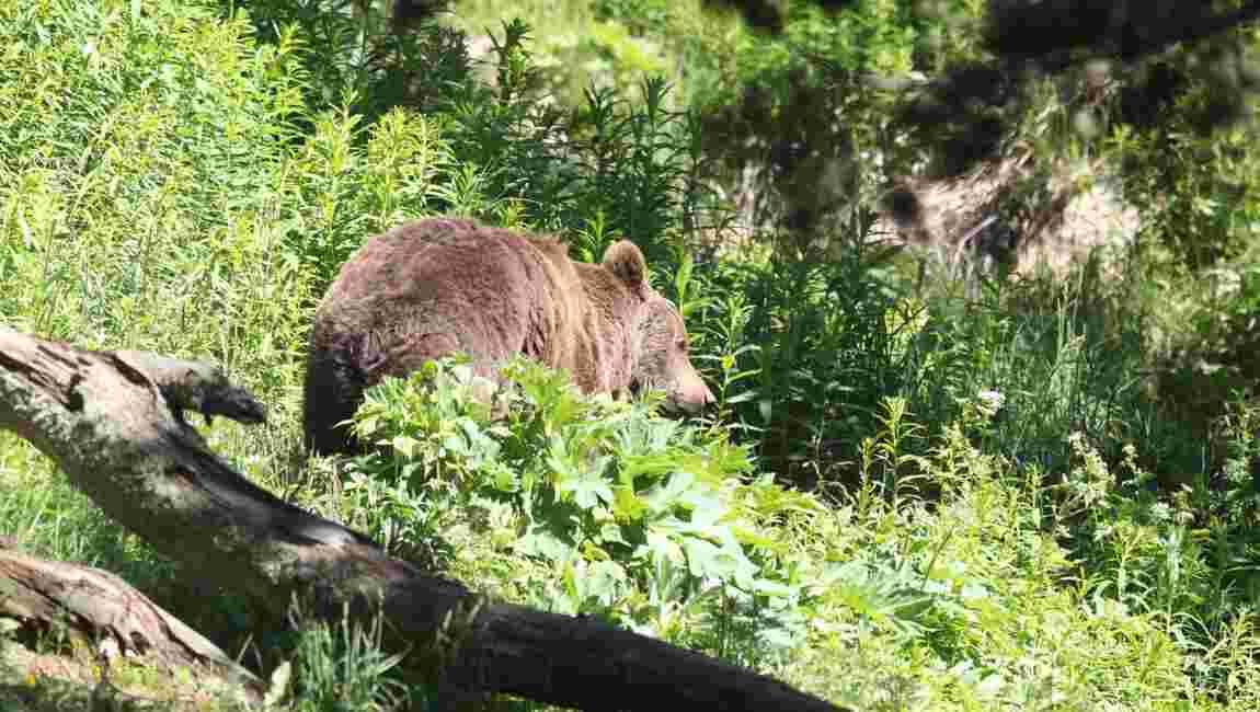 Ours des Pyrénées: feu vert aux mesures d'effarouchement