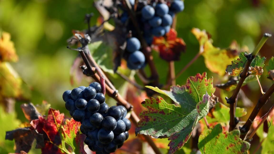 Des chauves-souris dans les vignes pour tenter d'éviter les pesticides