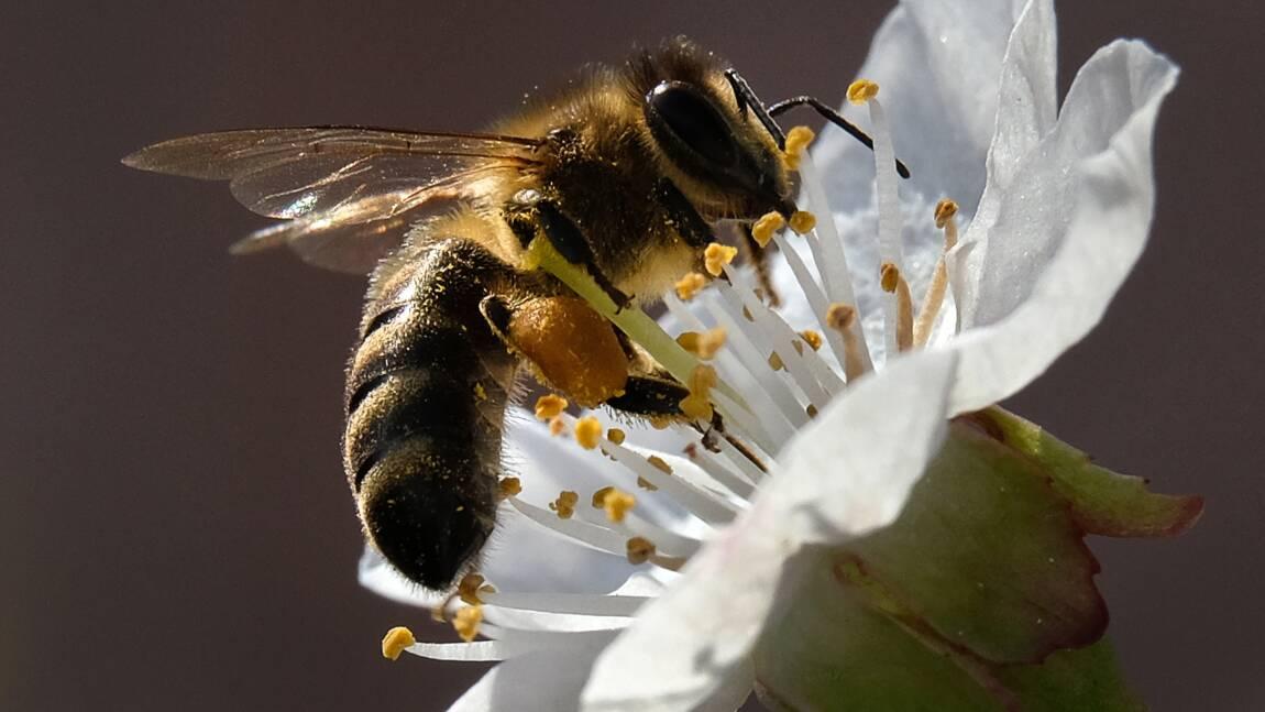 Pesticides : l'Europe bannit des néonicotinoïdes pour sauver les abeilles