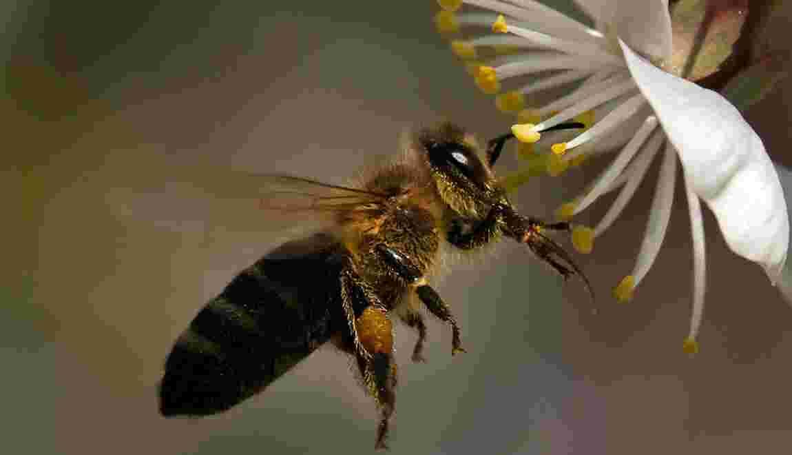 La protection des abeilles nécessaire à la sécurité alimentaire, selon la FAO et l'UE