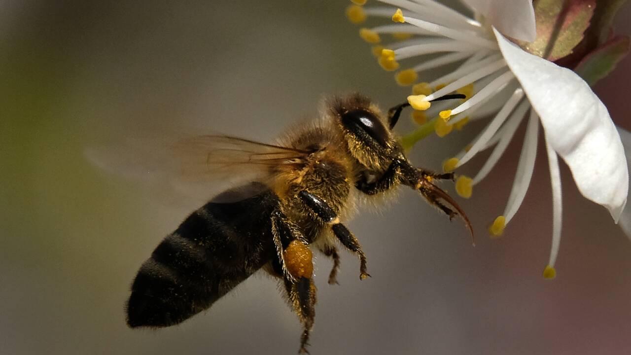Deux expériences confirment la nocivité pour les abeilles d'un insecticide