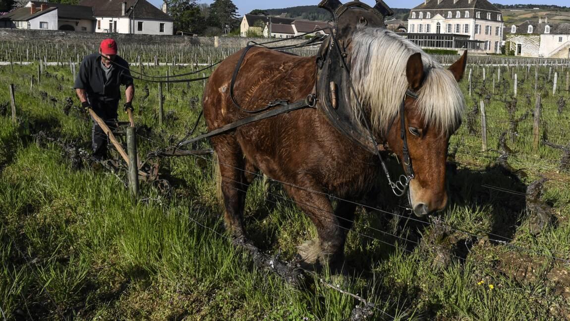 Labour à cheval et orties: le château de Pommard passe en biodynamie