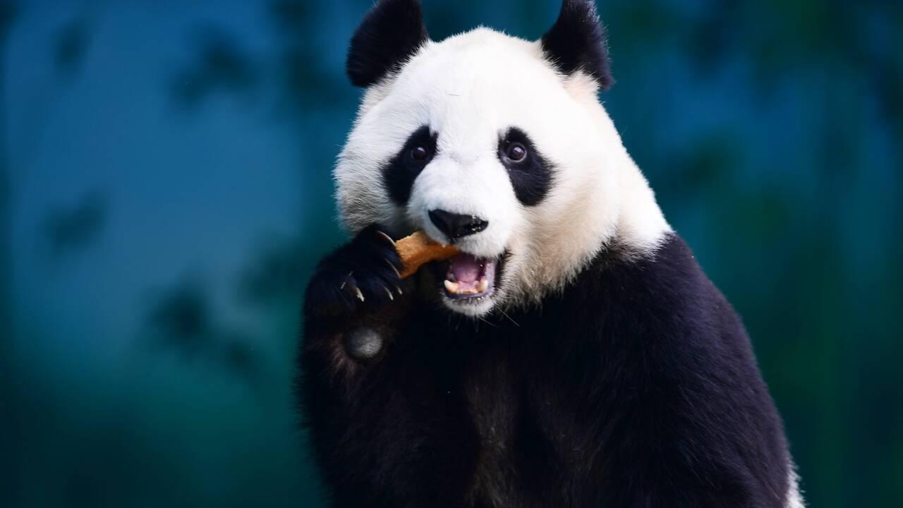 Panda ou iguane bleu: pas que des mauvaises nouvelles dans la nature