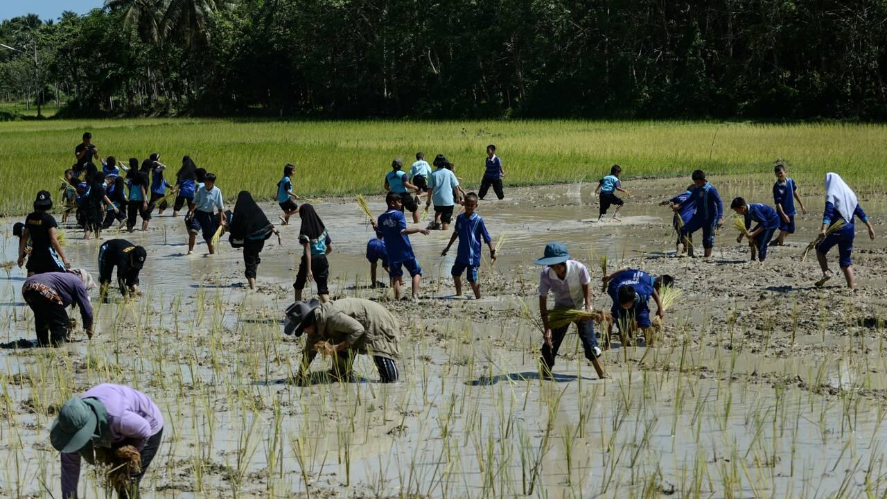 """La Thaïlande, grenier à riz du monde, """"restreint"""" seulement l'usage d'herbicides controversés"""