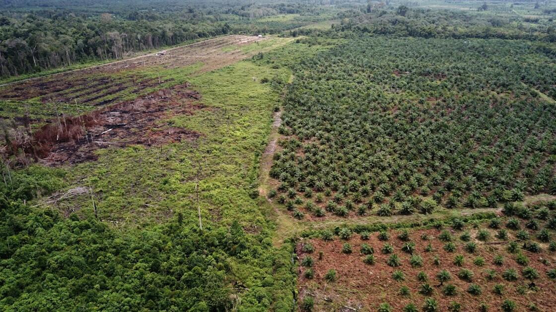 """L'huile de palme """"décime"""" les espèces mais l'interdire serait vain, selon l'UICN"""