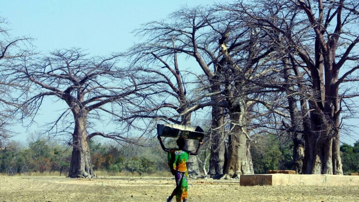 Pourquoi les plus vieux baobabs d'Afrique disparaissent-ils ?