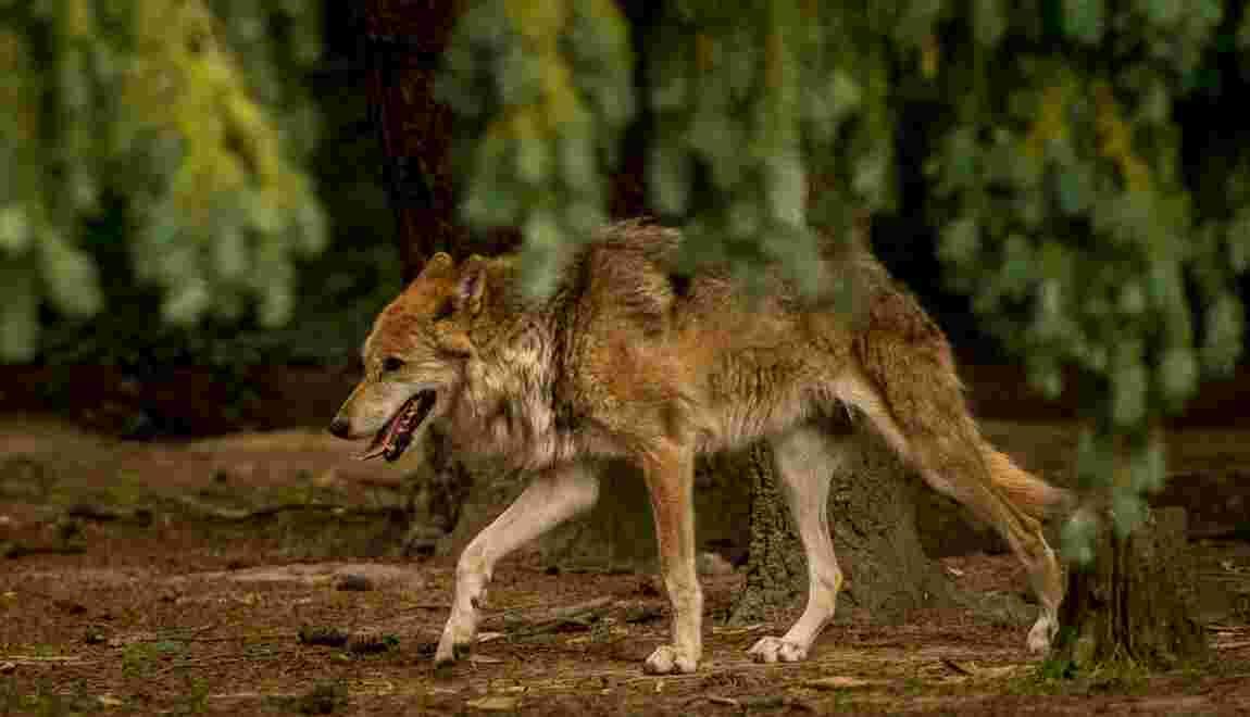 """Le loup """"en expansion rapide"""", avec environ 430 individus estimés en France"""