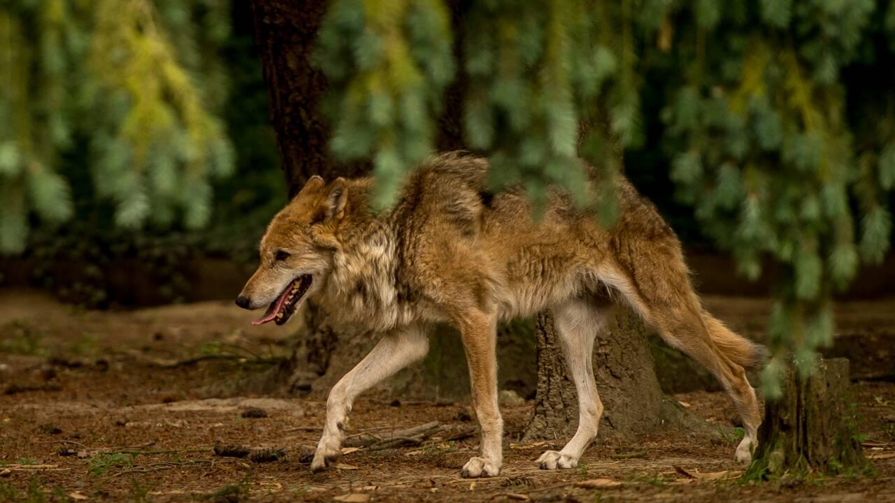 Lancement d'un site officiel dédié au loup en France
