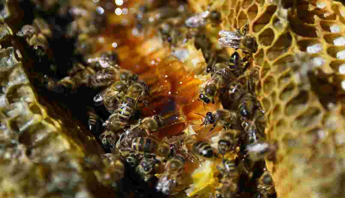 Enquête ouverte après la découverte de glyphosate dans du miel