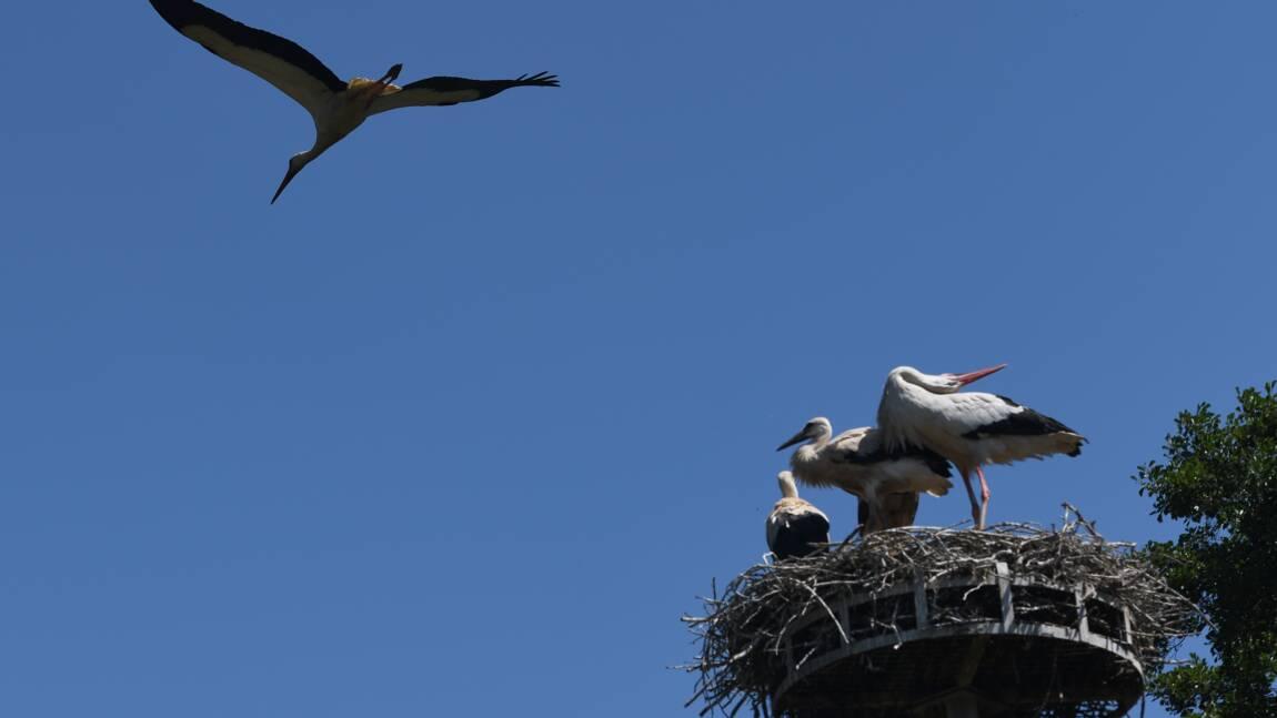En Alsace, les cigognes prennent parfois un peu trop leurs aises