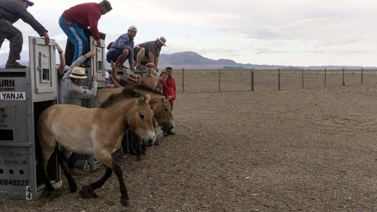 VIDÉO - Le périple des chevaux de Przewalski vers la Mongolie, leur terre d'origine