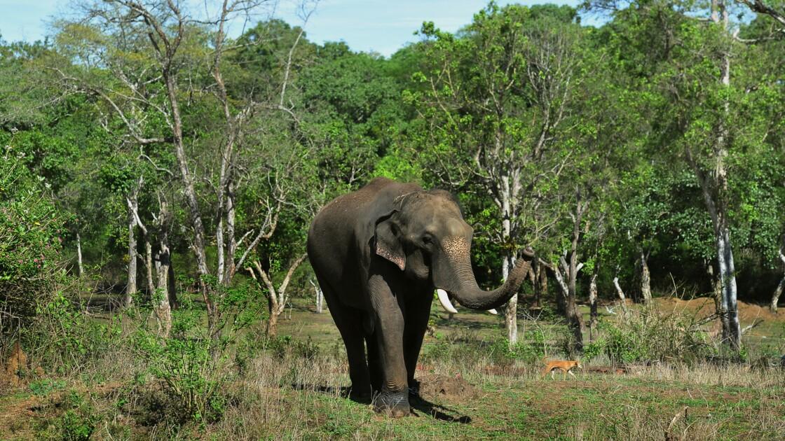 En Inde, sur la ligne de front entre hommes et éléphants