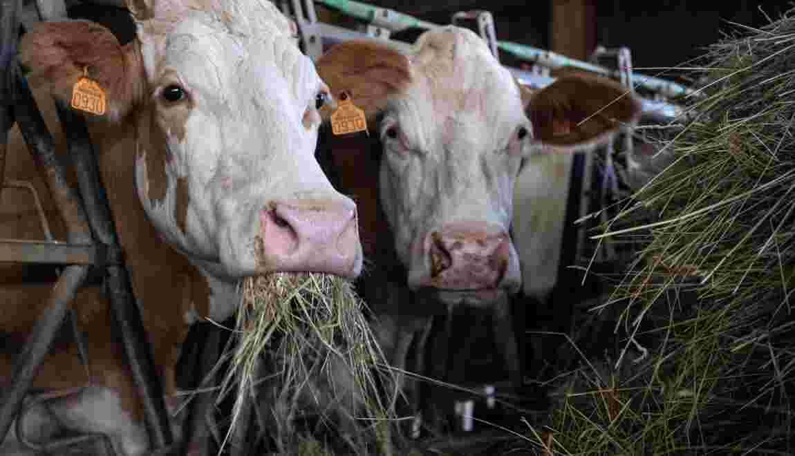 En Alsace, la sécheresse fatigue les vaches et grille le maïs