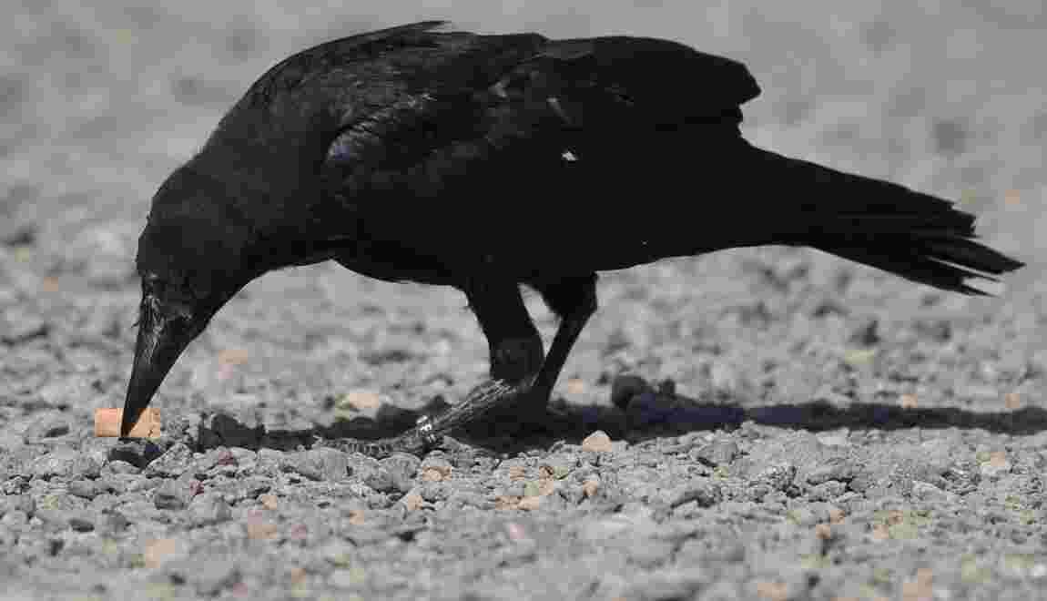 Mégot au bec, des corbeaux participent au nettoyage du  Puy-du-Fou