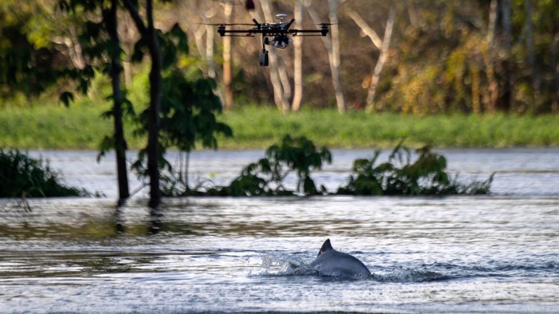 Brésil: les drones au service de la préservation des dauphins de l'Amazonie