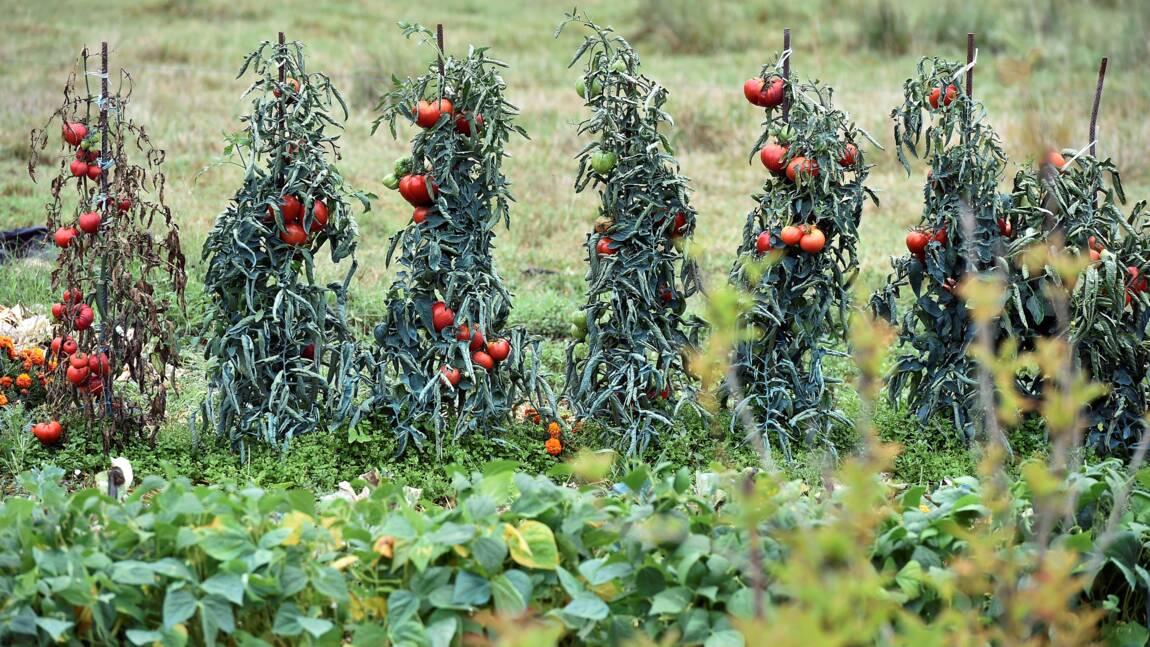 Virus de la tomate: risque important de propagation par les jardiniers du dimanche (Anses)