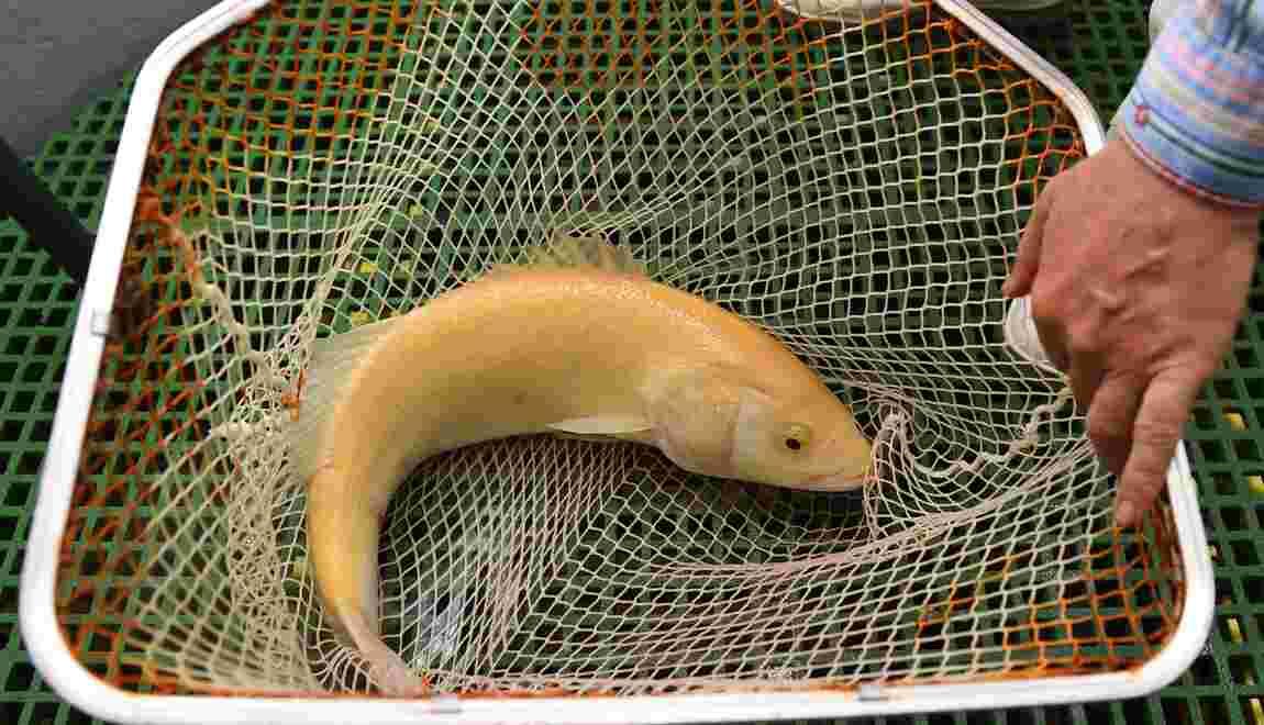 A Palavas, un lieu de recherche unique en France sur la pisciculture