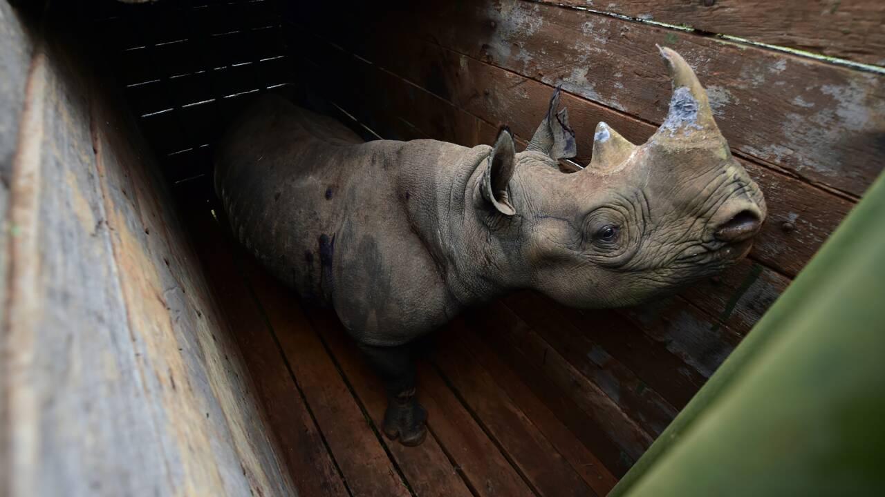 Kenya: huit rhinocéros morts après avoir été changés de parc