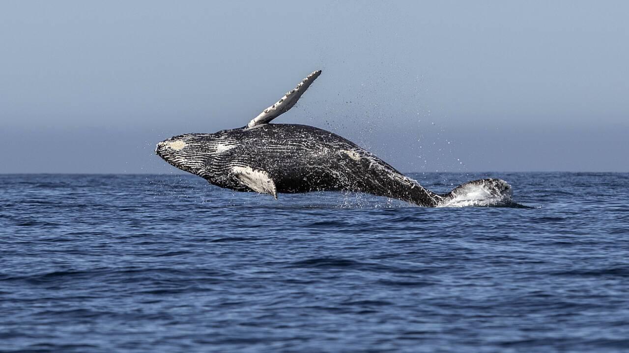 Les pays pro-chasse sabordent la création d'un sanctuaire de baleines