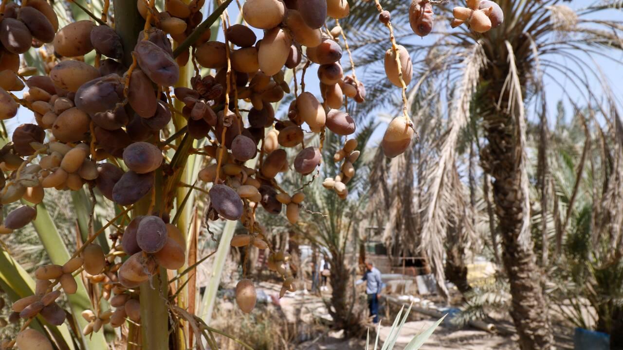 Entre guerres, sécheresse et concurrence régionale, les dix plaies du palmier d'Irak