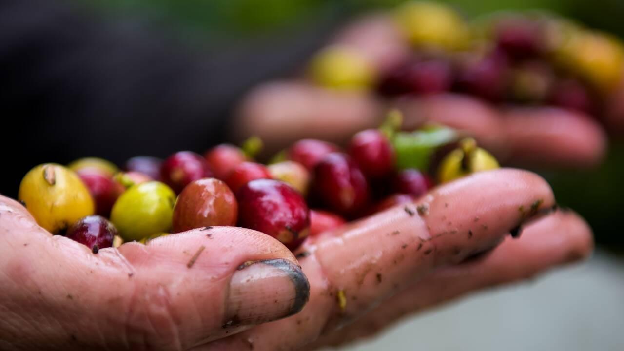 60% des espèces de café sauvage sont menacées d'extinction