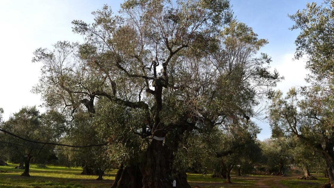 Xylella, la bactérie tueuse d'oliviers, pourrait s'étendre en Europe