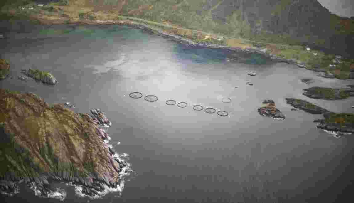 Norvège: une algue toxique décime les saumons d'élevage