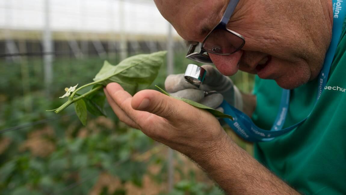"""Espagne: dans la """"mer de plastique"""", des insectes à la place des pesticides"""