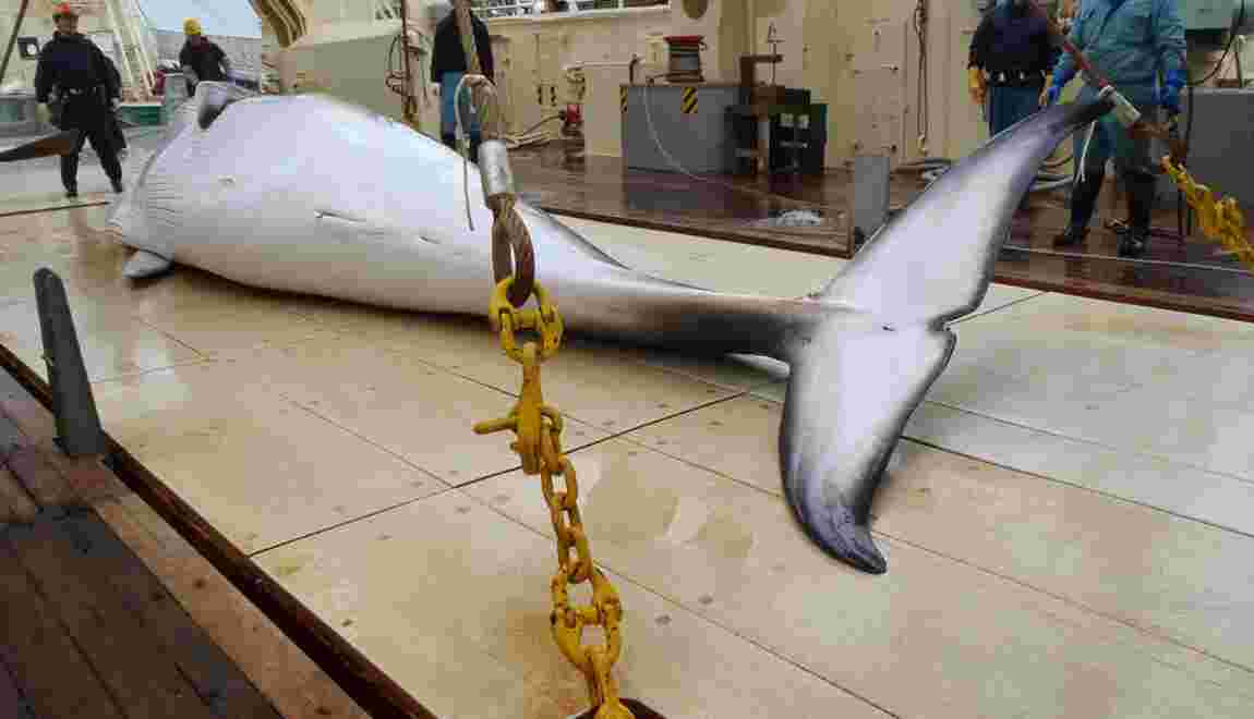 Japon : 122 baleines enceintes tuées au cours de l'expédition dans l'Antarctique
