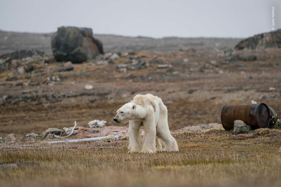 Un ours polaire en pleine lutte