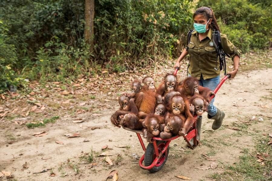 Dans un orphelinat d'orangs-outans à Ketapang, Bornéo, Indonésie