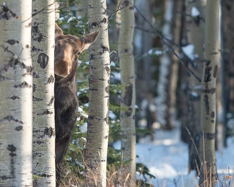 Elan planqué, Alberta du Sud, Canada